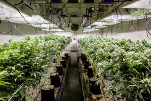 A shot of an indoor marijuana grow room in Colorado