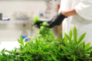 A Medically Correct employee hand-trimming cannabis stalks.